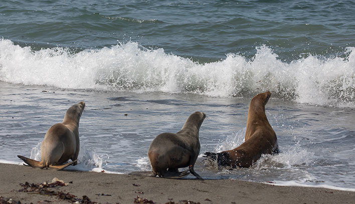 Three seals - being released at Bodega Bay